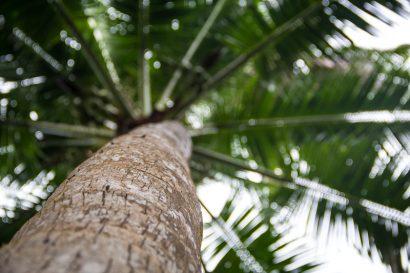 costa_rica_palmtree-1